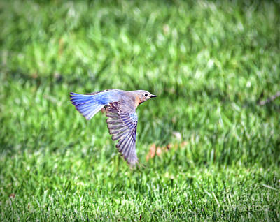 Photograph - Eastern Bluebird Takes Flight by Kerri Farley