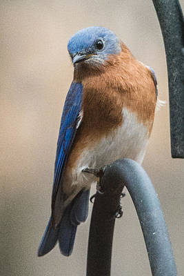 Photograph - Eastern Bluebird by Walt Sterneman