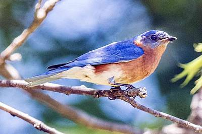Photograph - Eastern Bluebird by William Bitman