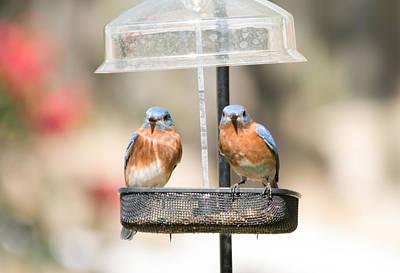 Photograph - Eastern Bluebirds by John Black