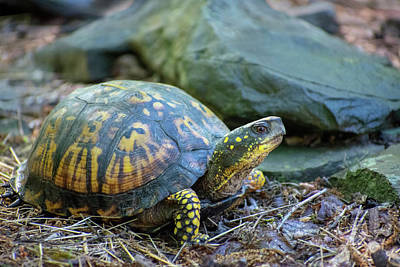 Photograph - Eastern Box Turtle by Christina Rollo