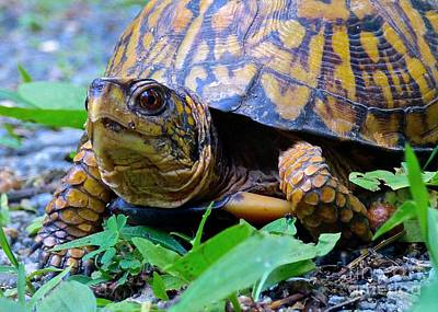 Photograph - Eastern Box Turtle by Jean Wright