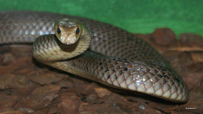 Photograph - Eastern Brown Snake Ready To Strike by Gary Crockett