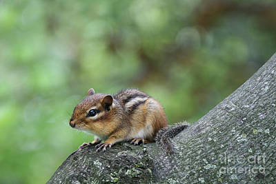Photograph - Eastern Chipmunk #2 by Judy Whitton
