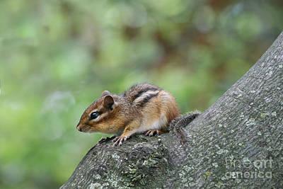 Wildlife Photograph - Eastern Chipmunk by Judy Whitton