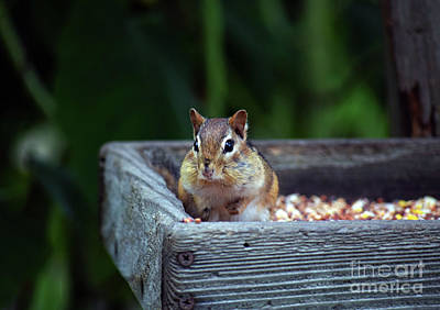 Photograph - Eastern Chipmunk Maine by Patti Whitten