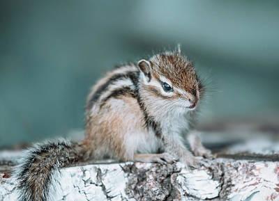 Chipmunk Photograph - Eastern Chipmunk Sitting On A Tree Stump by Oksana Ariskina