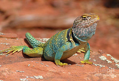 Collared Lizard Photograph - Eastern Collared Lizard by Laura Brightwood