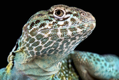 Collared Lizard Photograph - Eastern Collared Lizard by Reptiles4all