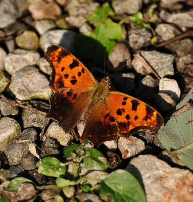 Digital Art - Eastern Comma Butterfly by Chris Flees