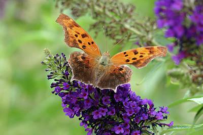 Photograph - Eastern Comma Butterfly - Full Spread by Bill Jordan