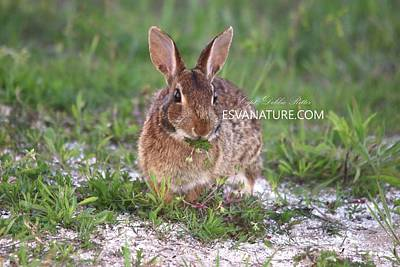 Photograph - Eastern Cotton Tail Rabbit by Captain Debbie Ritter