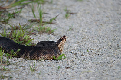 Photograph - Eastern Cottonmouth by James Petersen