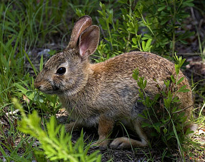 Photograph - Eastern Cottontail Rabbit Dmam0006 by Gerry Gantt