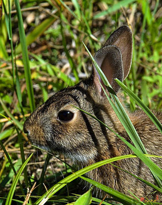 Photograph - Eastern Cottontail Rabbit Dmam0010 by Gerry Gantt