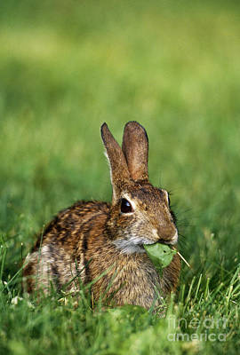 Photograph - Eastern Cottontail Rabbit by Samuel R Maglione