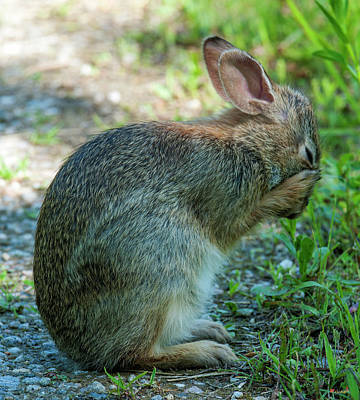 Photograph - Eastern Cottontail Rabbit Washing Face Dmam0036 by Gerry Gantt