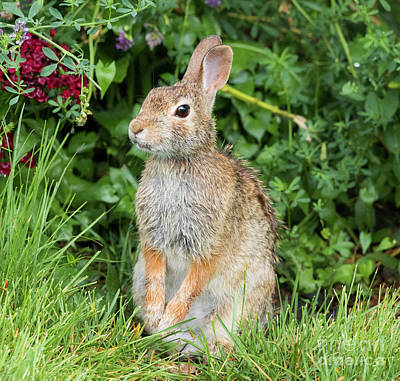 Photograph - Eastern Cottontail by Ricky L Jones