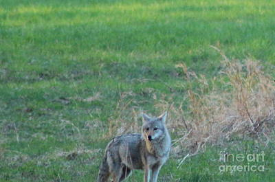 Photograph - Eastern Coyote In Grass by Neal Eslinger