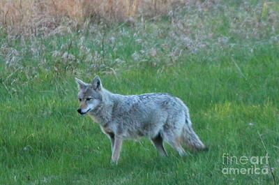 Photograph - Eastern Coyote In Meadow   by Neal Eslinger