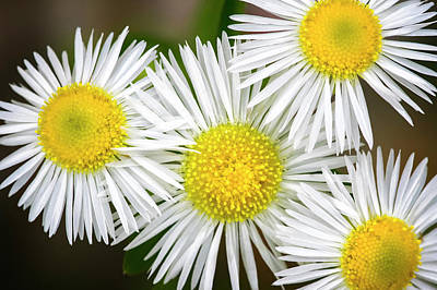 Photograph - Eastern Daisey Fleabane_060416_0190 by Brian Snyder