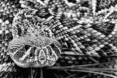 Photograph - Eastern Diamondback Rattlesnake Black And White by JC Findley