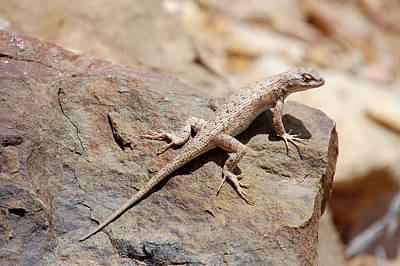 Photograph - Eastern Fence Lizard, Sceloporus Undulatus by Breck Bartholomew