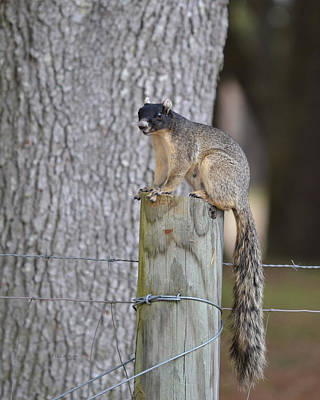 Photograph - Eastern Fox Squirrel - Sciurus Niger by RD Erickson