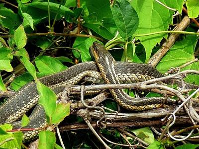 Photograph - Eastern Garter Snake by Beth Akerman