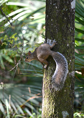 Photograph - Eastern Gray Squirrel At Oleno State Park, Florida by rd Erickson