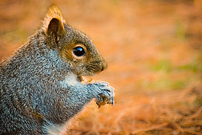 Photograph - Eastern Gray Squirrel by Bob Orsillo