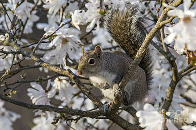 Photograph - Eastern Gray Squirrel - D009897 by Daniel Dempster