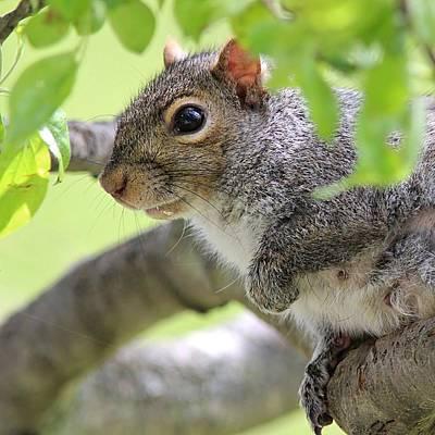 Pause Photograph - Eastern Gray Squirrel by Linda Crockett