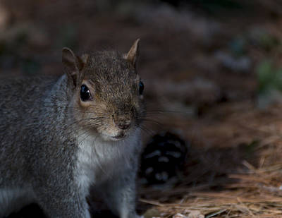 Photograph - Eastern Gray Squirrel by Pietro Ebner