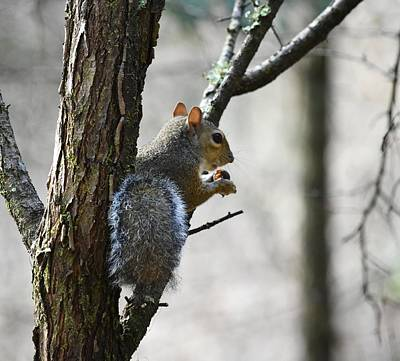 Photograph - Eastern Gray Squirrel With Acorn by rd Erickson
