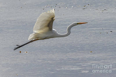 Photograph - Eastern Great Egret 03 by Werner Padarin