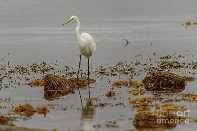 Photograph - Eastern Great Egret 05 by Werner Padarin