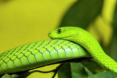 Photograph - Eastern Green Mamba by Petrus Bester