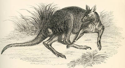 Kangaroo Drawing - Eastern Grey Kangaroo, Aka Great Grey by Vintage Design Pics