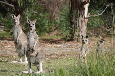 Eastern Grey Kangaroo Family Art Print by Roo Printz
