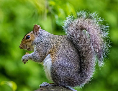 Tail Photograph - Eastern Grey Squirrel by Martin Newman