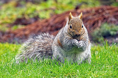 Photograph - Eastern Grey Squirrel by Sharon Talson