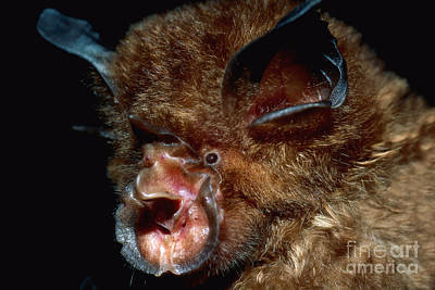 Indonesian Wildlife Photograph - Eastern Horseshoe Bat by Michael Moore