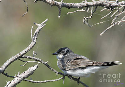 Photograph - Eastern Kingbird  by Bill Woodstock
