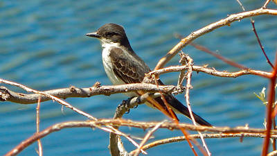 Photograph - Eastern Kingbird by Dan Miller
