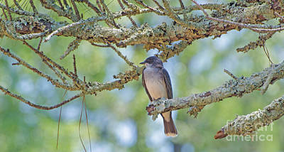 Photograph - Eastern Kingbird by Donna Brown