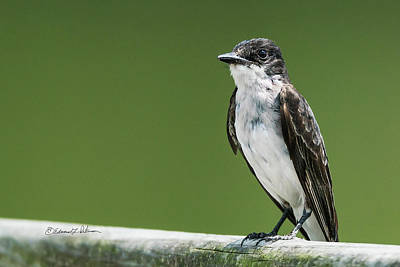 Photograph - Eastern Kingbird On A Railing by Edward Peterson