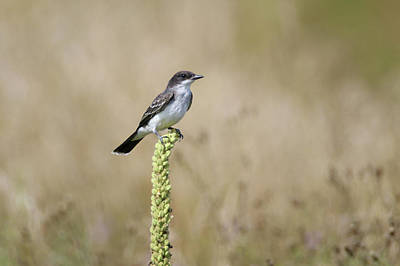 Photograph - Eastern Kingbird On Mullein Plant by Brook Burling