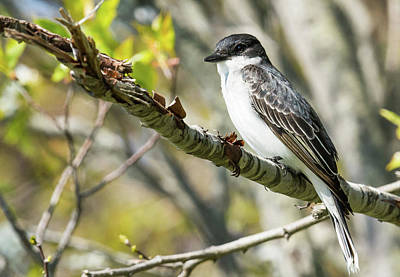 Photograph - Eastern Kingbird by Paul Miller