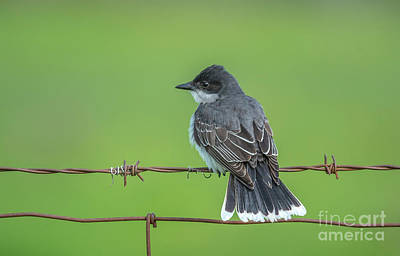 Photograph - Eastern Kingbird Perch by Cheryl Baxter